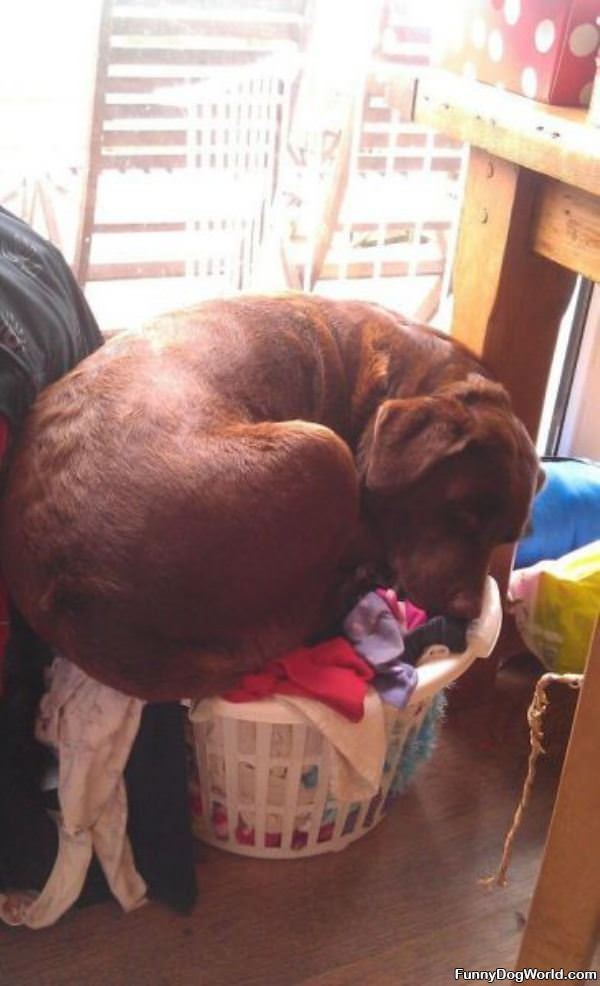 Asleep In The Laundry Dog