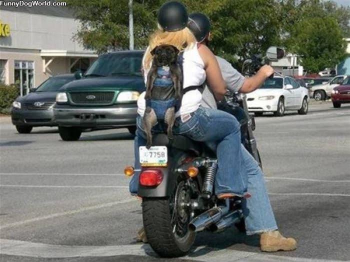 Backpack Dog