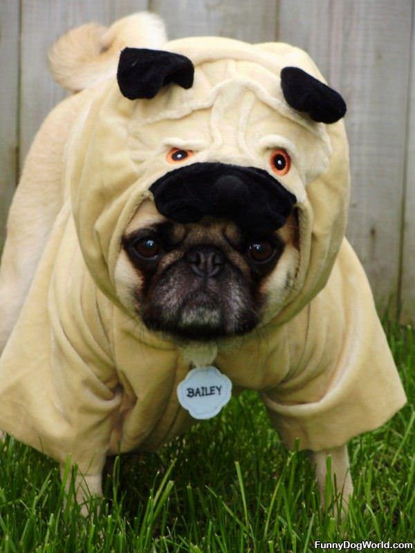 Bailey Ready For Halloween
