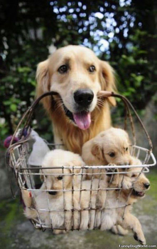 Basket Of Pups