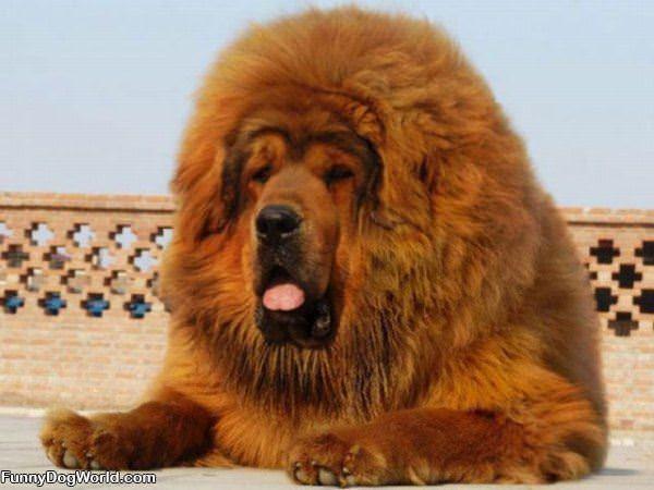 Bushy Dog