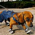 Cool Dog Going For A Walk