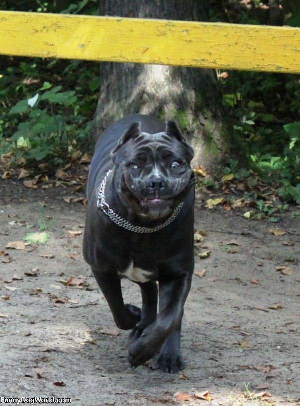 Crazy Running Dog