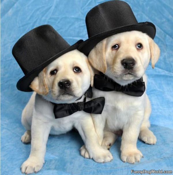 Cute Puppies In Tophats
