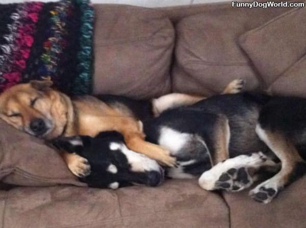 Cute Sleeping Dogs