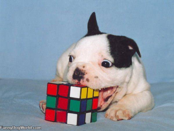 Dog Cube