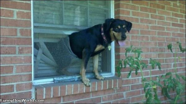 Dog Hanging Out The Window