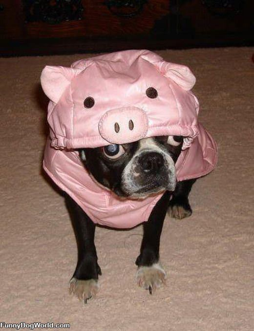 Dog Is A Pig