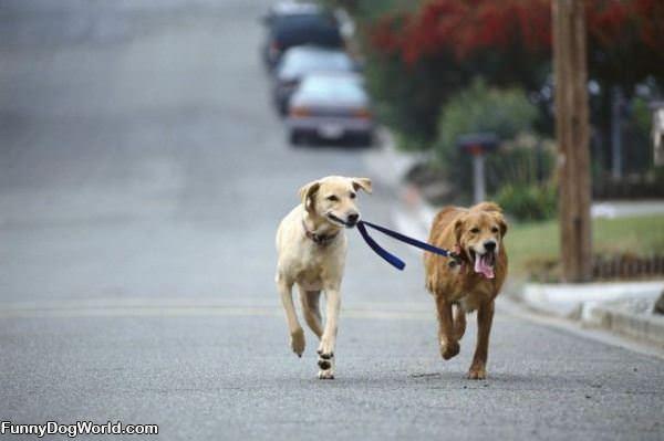 Dog Walking A Dog