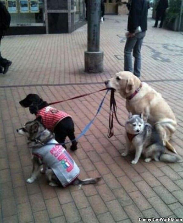 Dogs Walking Dogs