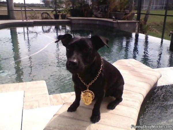 Gold Chain Dog