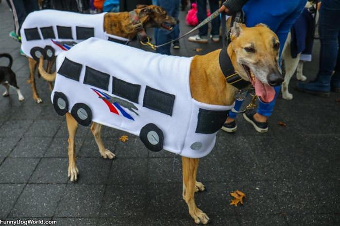 Greyhoud Dogs