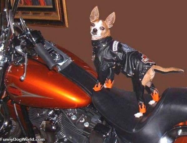 Harley Dog
