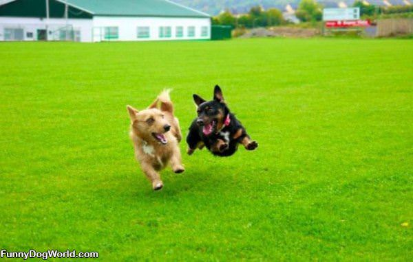 Hover Dogs Playing