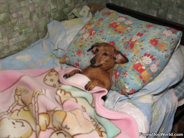 In Bed Dog