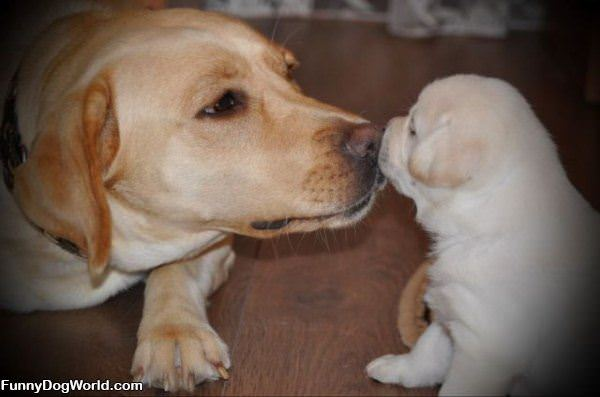 Little Puppy Kiss