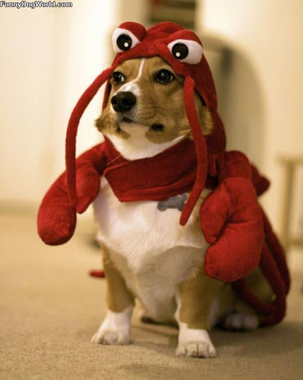 Lobster Dog Is Mad