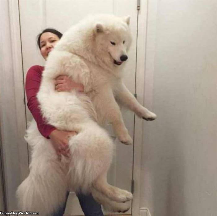 One Giant Lap Dog
