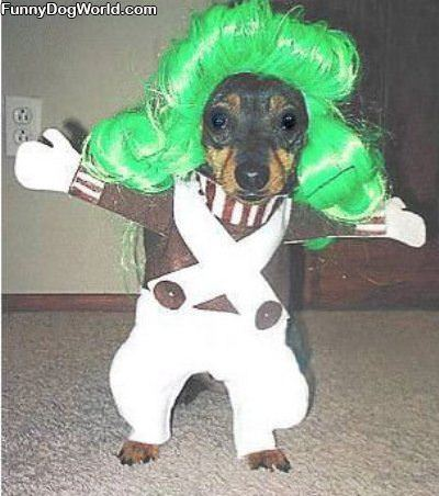 Oompa Dog