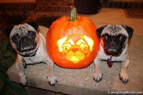 Pug Halloween