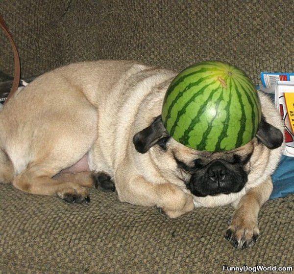 Pug Helmet