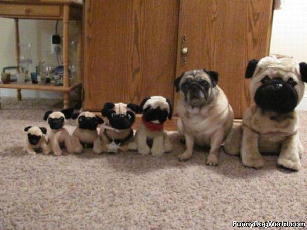 Pug Lineup