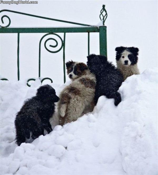 Snow Pups