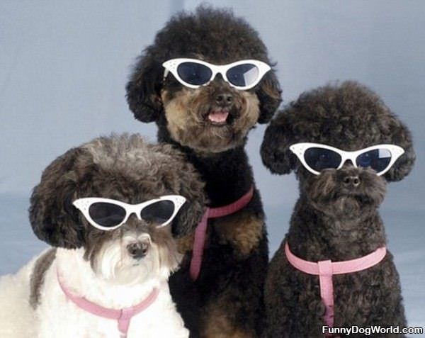 Cool dogs with sunglasses - photo#24