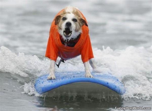 Surf Dog Loves To Surf