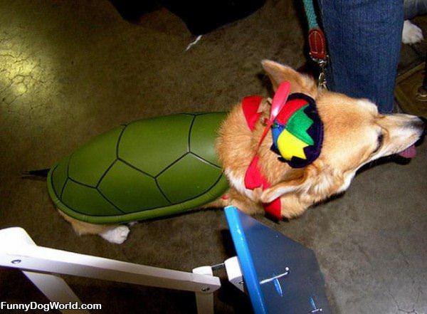 The Corgi Turtle