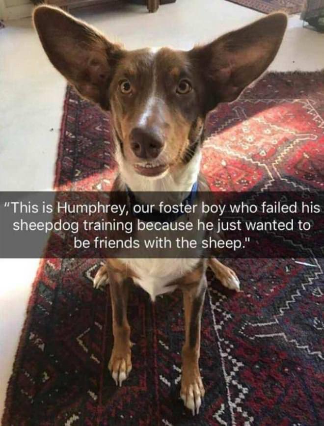 The Failed Sheepdog