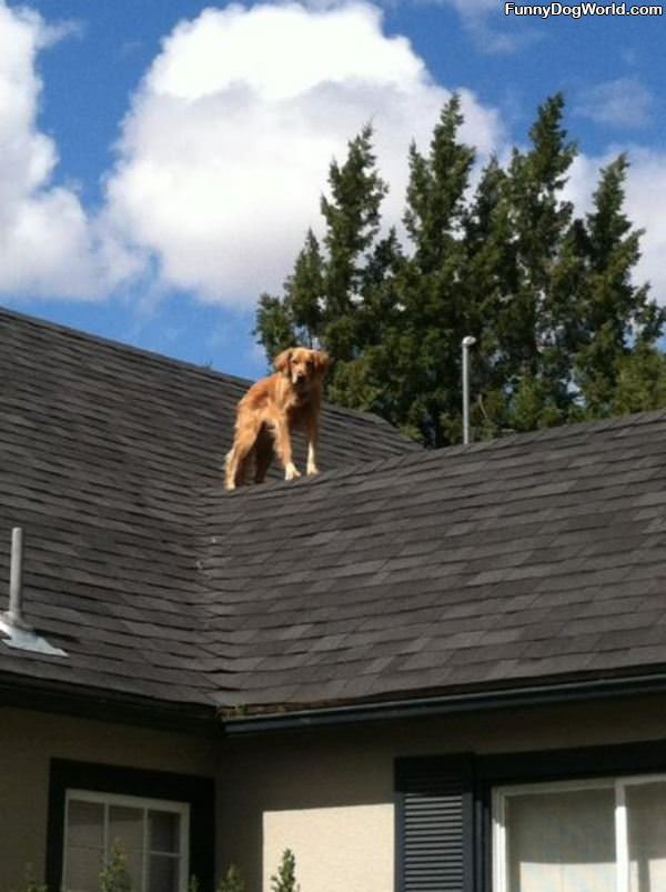 The Roof Dog
