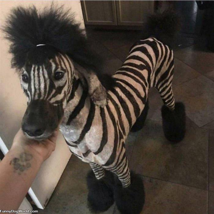 The Zebra Dog