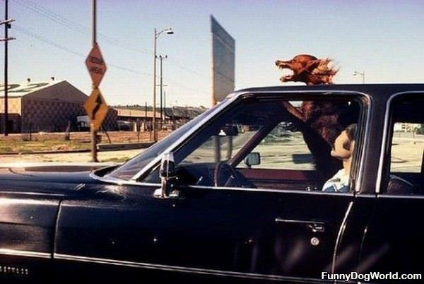 This Dog Lives Sun Roofs