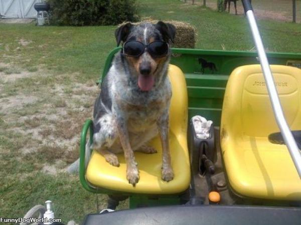 This Is One Cool Farm Dog