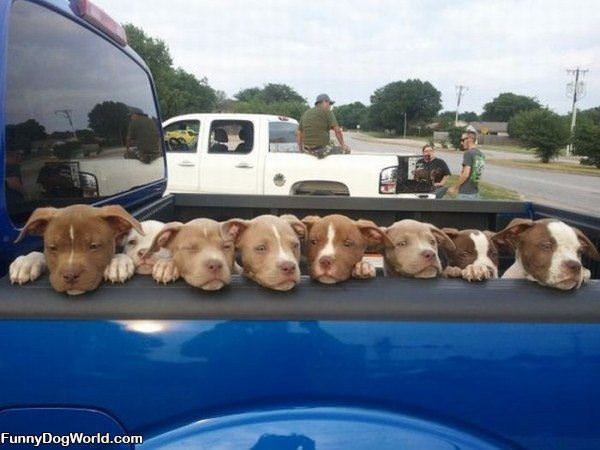 Truck Load Of Puppies