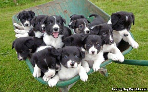 Wheel Barrel Of Puppies