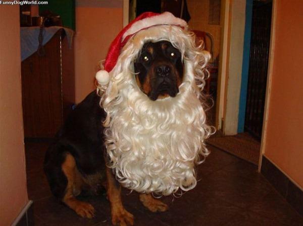 Bullet The Santa Dog