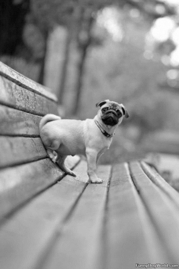 How I Sit Pug