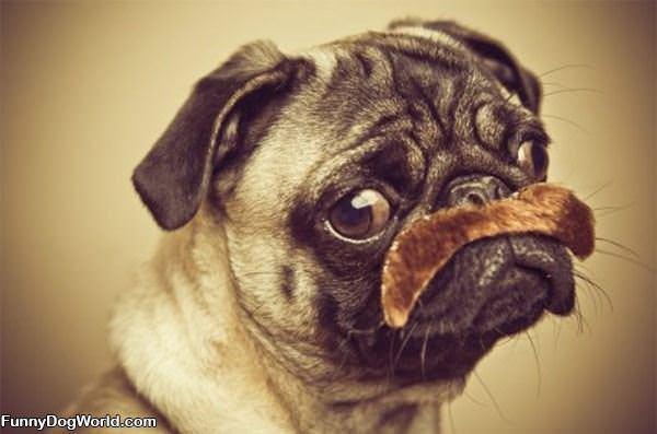 Nice Mustache Pug