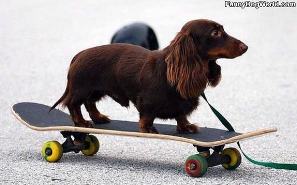 Skateboarder Dog