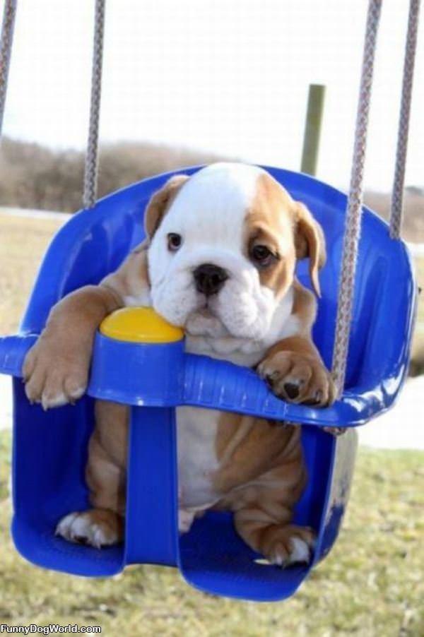 Swing Swing Swing Dog